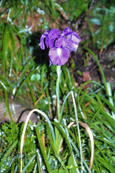 Bel iris dans la rosée