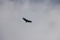 Un vautour au pic de Berbeillet