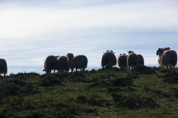 Quelques moutons au col de Berbeillet