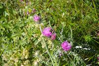 Insecte piqueur sur fleur piquante