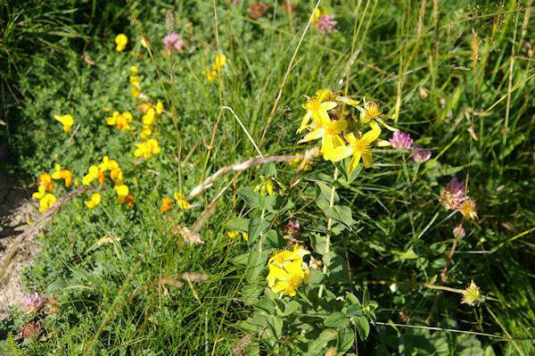 Jolies fleurs jaunes, mais lesquelles?