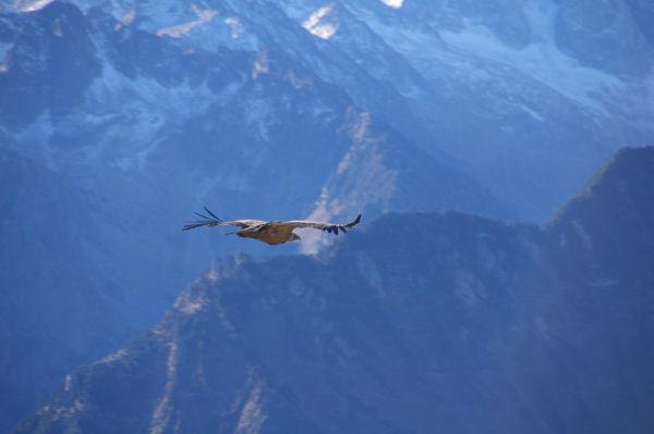 Un vautour fauve au Pic du Cabaliros