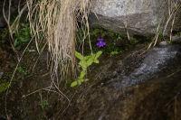 La grassette fleurie