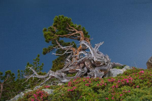Rhododendrons fleuris et pins torturés au dessus du lac de Cap de Long
