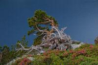 Rhododendrons fleuris et pins tortures au dessus du lac de Cap de Long