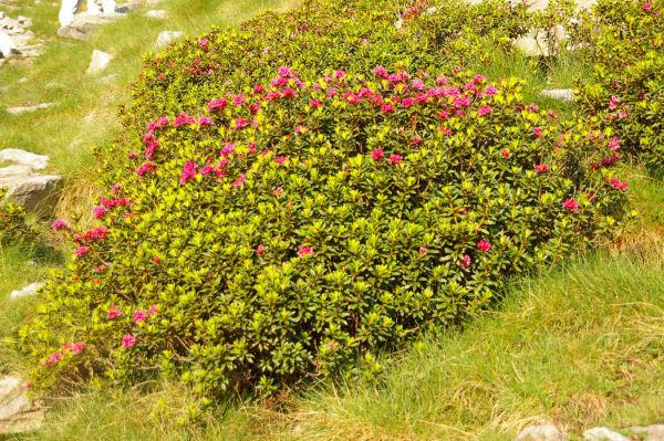 Un rhododendron en fleur