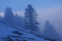 Pins dans la brume sous le Cap Nestes