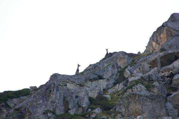 Deux isards inquiets au dessus des lacs de Remoulis