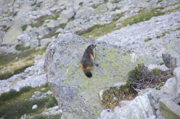 Une marmotte à Maria Bère
