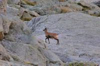 Un isard sur le granit rose au pied du Pic Cadier