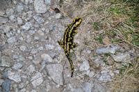 Belle salamandre