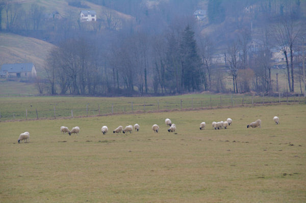 Des moutons sur le plateau du Barry