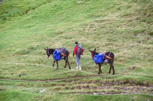 Les mules du refuges des Espuguettes partent au ravito