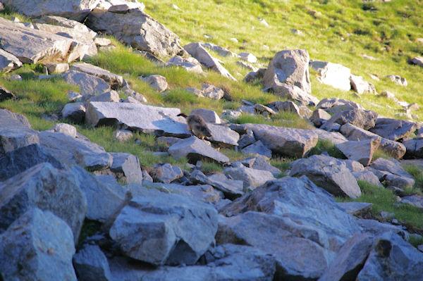 Une marmote au fond du vallon d_Estaragne