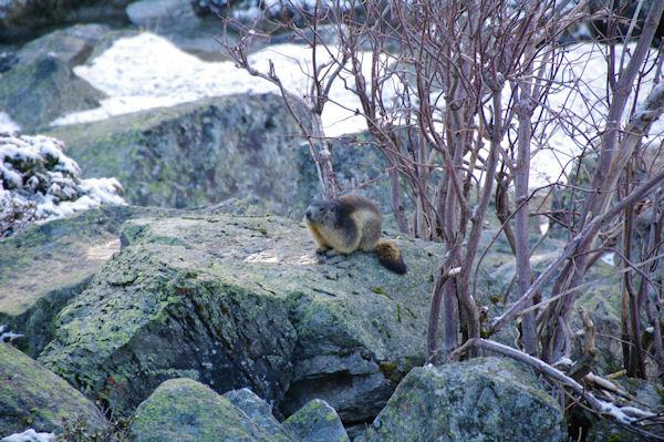 Une marmotte au sortir de l_hibernation
