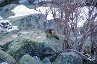 Une marmotte au sortir de l'hibernation