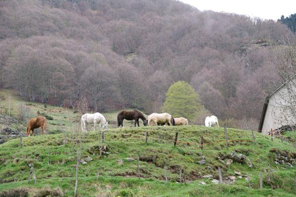 Jolis chevaux près du Pont de Brioule