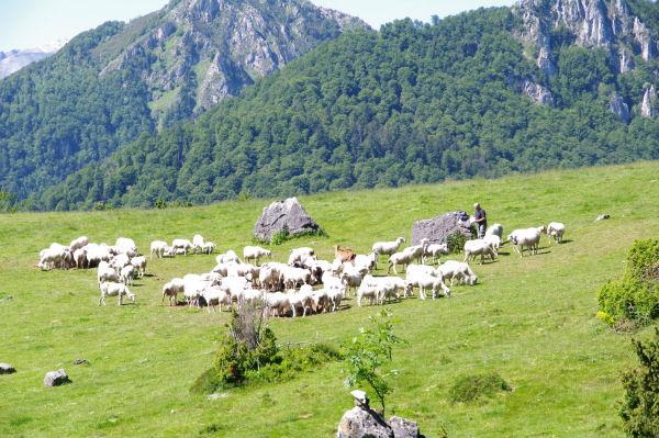 Un berger soignant ses moutons