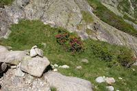 Des Rhododendrons en fleur