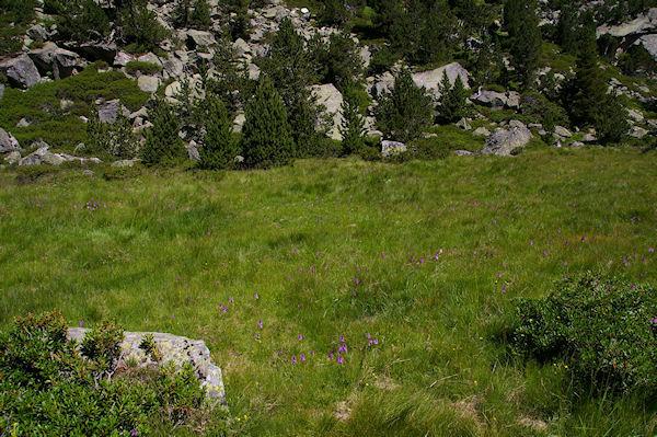 La pelouse parsemée d&#39Orchidées