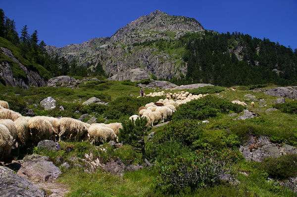 Des moutons montant en estive au Larribet