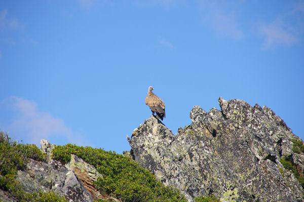 Un vautour fauve au Pic de Mousquès