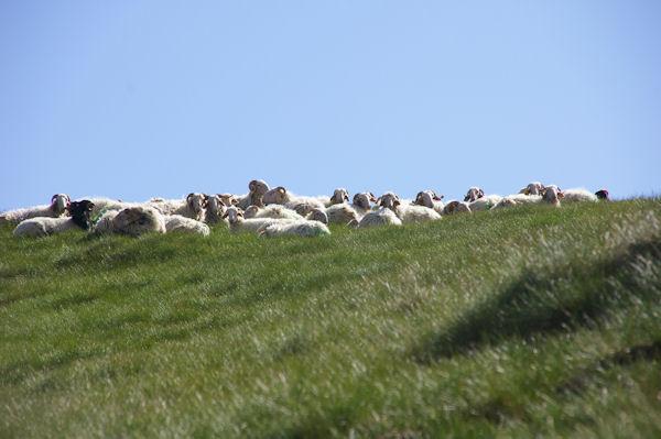 Des moutons vers le Col de las Capullas