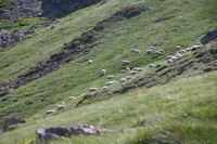 Des moutons en estive sous le Pic du Midi d'Arrens