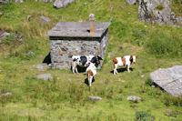 Quelques vaches a la cabanne de Mauvesi