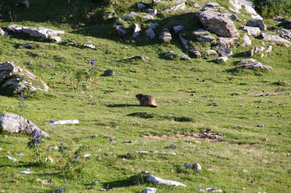 Une marmotte dans le Cirque de Troumouse