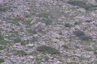 Deux autres isards au Couyeou de l'Affron