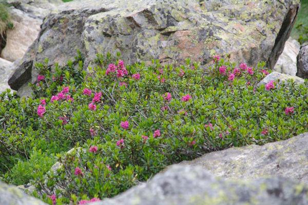 Des rhododendrons encore fleuris