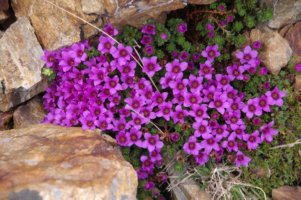 Magnifiques fleurs (?) sur la crête Ouest-Nord-Ouest du Petit Vignemale