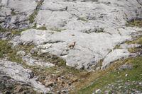 Un isard au dessus du Barrancoue d'Ossoue