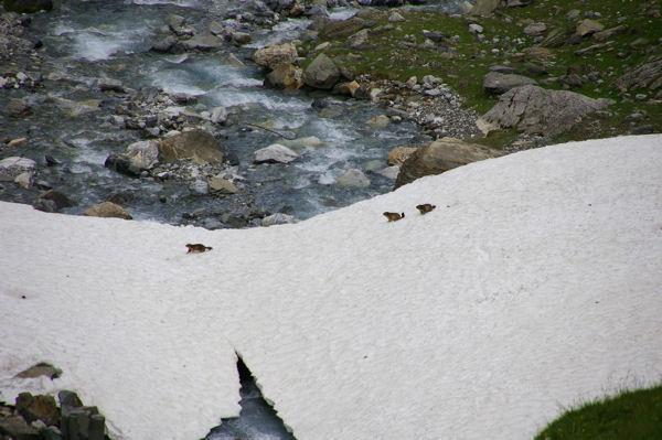 Cavalcade de marmottes sur un névé
