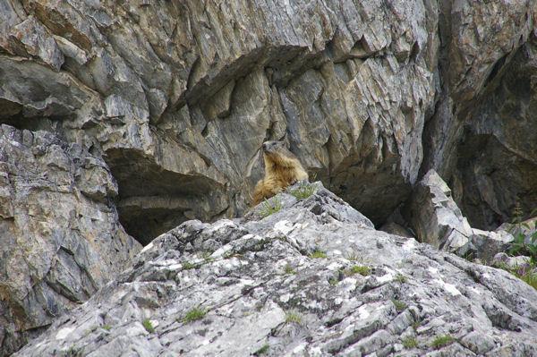 Une marmotte aux aguets!