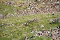Une marmotte qui se dore au soleil