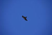 Un vautour
