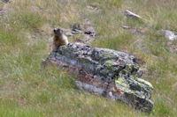 Marmotte aux aguets