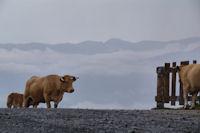 Vaches en estive au Col de Portet