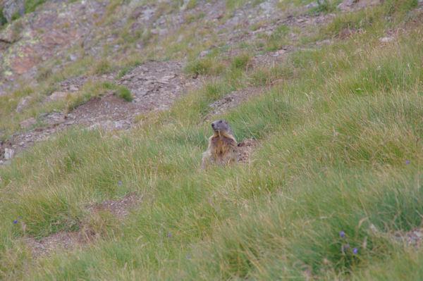 Une marmottes sous le Col du Piméné