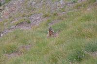 Une marmottes sous le Col du Pimene