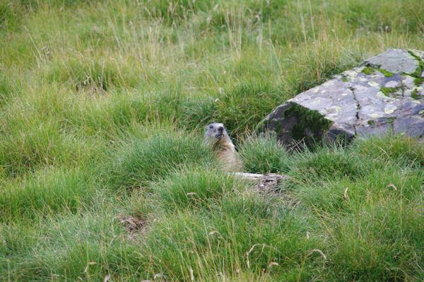 Une marmotte craintive au plateau des Cardous