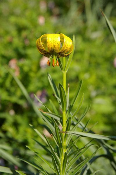 Un lys jaune des Pyrénées en remontant sous le flanc Ouest du Petit Arroubert
