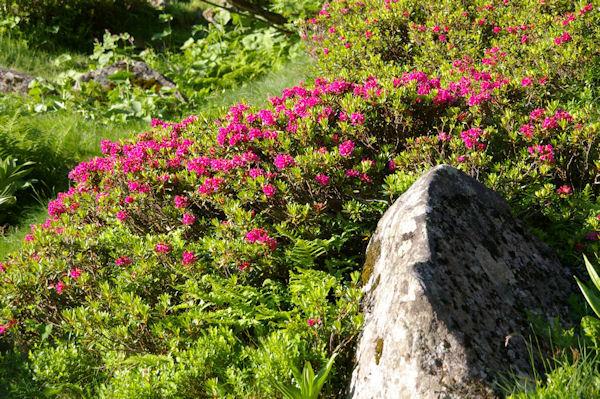 Des rhododendrons vers les ruines de la Lie