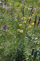 Iris et lys sous le flanc Sud du Petit Arroubert