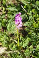 Une orchidee sous le flanc Sud du Petit Arroubert