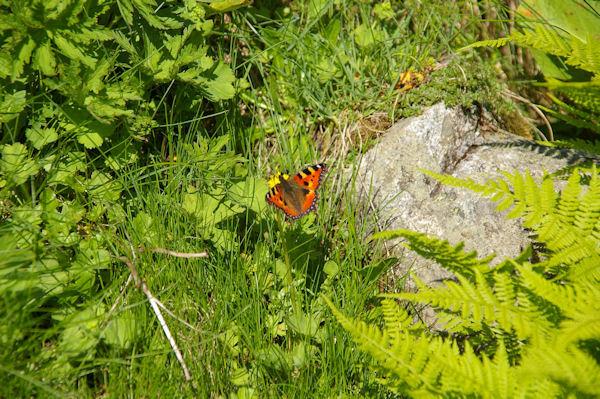 Un joli papillon en remontant vers Bassia Det Pi