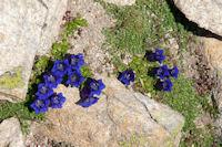 Joli bouquet de gentianes au Col d'Hospitalet