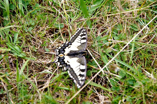 Un machaon peu farouche